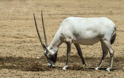 Arabian oryx in nature reserve Stock Photos