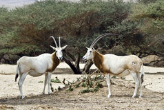 The Arabian oryx (Oryx leucoryx) Royalty Free Stock Photography