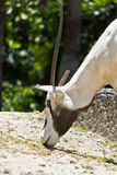 Arabian Oryx - Oryx leucoryx Stock Photos