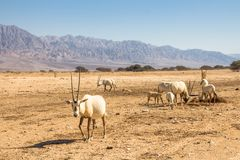 Arabian Oryx Oryx leucoryx a genus of Antelope species, an endangered animal in the `Hay-Bar` Yotvata Nature Reserve Israel royalty free stock image