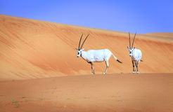 Arabian Oryx Stock Images