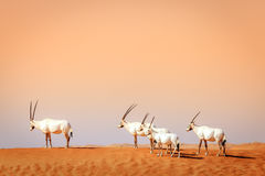 Arabian Oryx Royalty Free Stock Photos