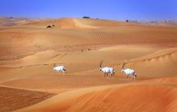 Arabian Oryx Stock Images