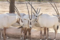Arabian Oryx with point horns Royalty Free Stock Photography