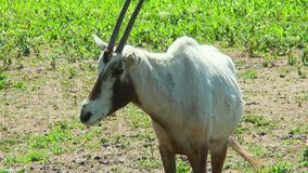 Arabian Oryx standing in front of the camera. Close-up stock footage