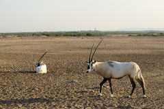 Arabian oryx Royalty Free Stock Photos