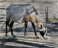 Arabian oryx 3 royalty free stock photo