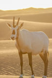 Arabian oryx Stock Photo