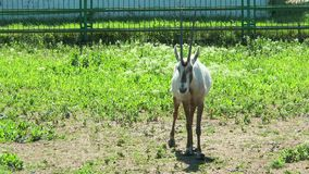 Arabian Oryx walk in front of the camera. Two Arabian Oryx walk in front of the camera stock footage