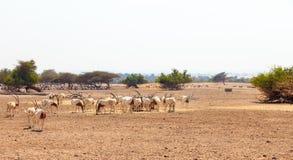 Arabian oryx or white oryx Oryx leucoryx medium-sized antelope with long, straight horns and tufted tail.  Royalty Free Stock Photo