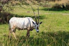 Arabian oryx or white oryx Oryx leucoryx medium-sized antelope with long, straight horns and tufted tail. Natural habitat, UAE. Arabian oryx or white oryx Oryx Stock Photo