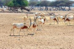 Arabian oryx or white oryx Oryx leucoryx medium-sized antelope with long, straight horns and tufted tail. Abu Dhabi, UAE. Arabian oryx or white oryx Oryx Stock Photography
