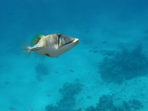 Arabian Picasso triggerfish Stock Photo