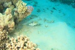 Arabian Picasso triggerfish stock photos