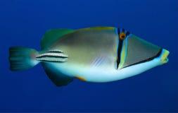 Free Arabian Picassofish Stock Photography - 28061242