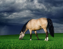 Arabian pony on a meadow before a thunder-storm Royalty Free Stock Photography