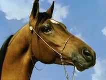 Arabian Profile stock image