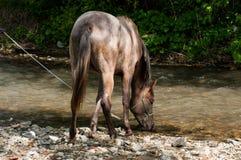 Arabian purebred horse drinking water royalty free stock photos