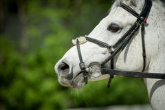 Arabian racing horse head closeup on green leaves background Royalty Free Stock Image