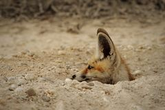 Arabian red Fox at his den royalty free stock photography