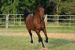 Arabian running. Arabian stallion running in arena Stock Photography