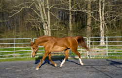 Arabian/Saddlebred mix horse Royalty Free Stock Image