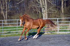 Arabian/Saddlebred mix horse Royalty Free Stock Images