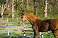Arabian/Saddlebred mix horse Stock Images