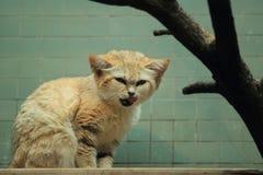 Arabian sand cat. The yawning arabian sand cat Stock Photos