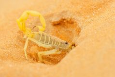 Arabian Scorpion Digging a Burrow. A highly venomous Arabian scorpion, Apistobuthus pterygocerus, digging a burrow in a sand dune in the Empty Quarter Desert royalty free stock photography