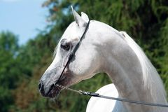 Arabian sire Royalty Free Stock Photography
