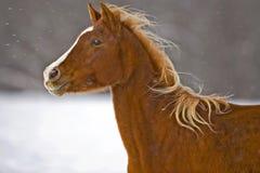Arabian in snow Royalty Free Stock Image