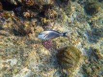 Arabian Shoal surgeon fish in the natural environment Acanthurus sohal. Arabian Shoal surgeon fish in the natural environment. Acanthurus sohal stock photo