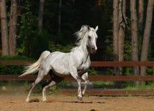 Arabian stallion. Beautiful arabian stallion in motion Stock Image