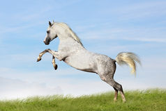 Arabian stallion. Jumping in field Royalty Free Stock Photography