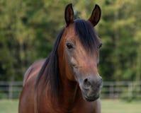 Arabian stallion. Head shot of a bay arabian stallion Stock Images