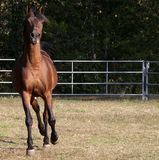 Arabian Stallion. Front view of Bay Arabian stallion trotting Royalty Free Stock Images