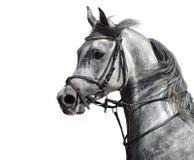 Arabian stallion. Portrait of the arabian stallion Stock Photography