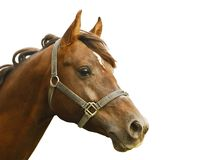 Arabian stallion Royalty Free Stock Photo