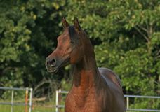 Arabian Stallion Stock Photos