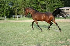 Arabian Stallion. Trotting across arena with tail flying Stock Images