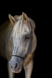 Arabian stallion on the black background. Stock Image