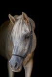 Arabian stallion on the black background. Stock Image