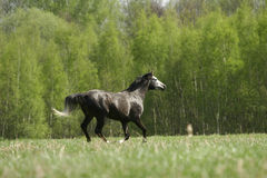 Arabian stallion galloping. Young purebred arabian stallion galloping through the field Stock Image