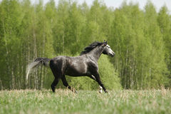 Arabian stallion galloping. Young purebred arabian stallion galloping through the field Royalty Free Stock Photo