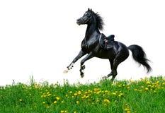 Arabian stallion gallops in field. Arabian black stallion gallops in field - isolated on white Royalty Free Stock Photo