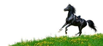 Arabian stallion gallops in field. Arabian black stallion gallops in field - isolated on white Royalty Free Stock Photos