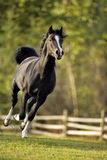 Arabian Stallion going fast Royalty Free Stock Image