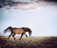 Arabian stallion horse running trot on autumn pasture Stock Images