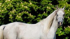 Arabian Horse Portrait Stock Image